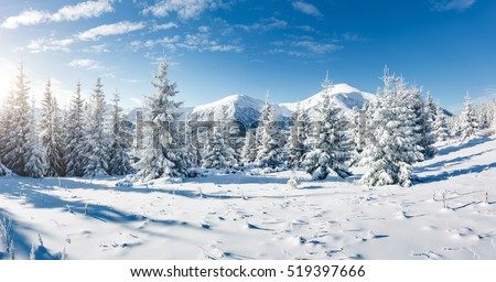 Majestic white spruces glowing by sunlight. Picturesque and gorgeous wintry scene. Location place Carpathian national park, Ukraine, Europe. Alps ski resort. Blue toning. Happy New Year! Beauty world. #519397666