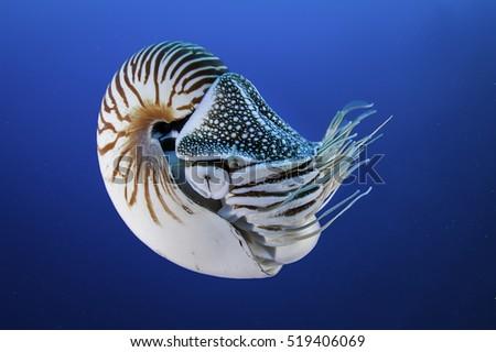 Nautilus shell swimming in blue water, Palau, Micronesia. #519406069