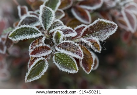 The late fall transmitted to an early winter when the first frost comes and the leaves getting white frost edges Royalty-Free Stock Photo #519450211