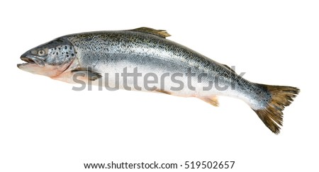 Salmon fish isolated on white without shadow Royalty-Free Stock Photo #519502657