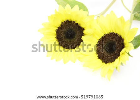 Sunflower in a white background #519791065