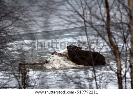 Photographers risk. Brown bear awoke from hibernation, then killed young elk on lake ice, part ate and sleeping on carcass as pillow-predator guarding his kill. Beast looks around, unique picture