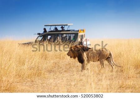Portrait of beautiful big lion at safari park #520053802