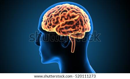 human body brain