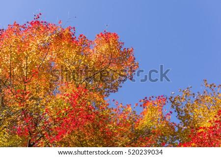 Autumn colorful maple leaves #520239034