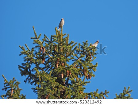 waxwings on a tree #520312492