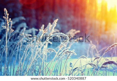 Winter scene .Frozenned flower .pine forest and sunset Royalty-Free Stock Photo #520340887