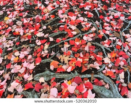 Colorful dry fall leaves on the ground #520362010