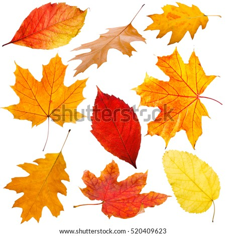 Collection of autumn leaves on white background #520409623