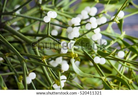 Green mistletoe close up. Nature background. Christmas plant