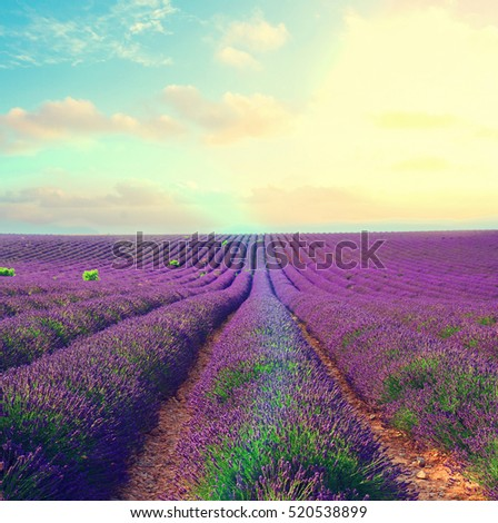 Lavender flowers field rows with summer blue and pink sunset sky with shining sun, Provence, France retro toned #520538899