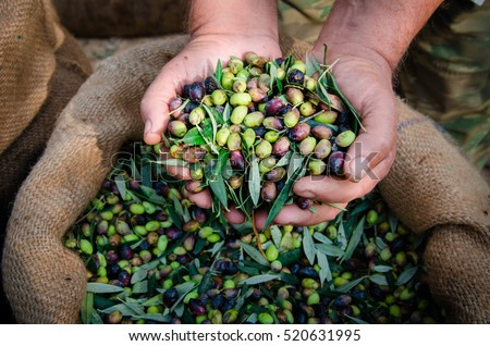Harvested fresh olives in the hands of farmer, Crete, Greece. #520631995