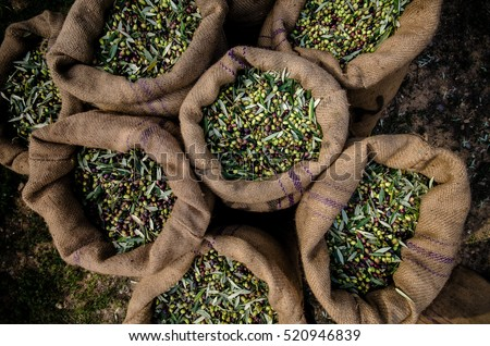 Harvested fresh olives in sacks in a field in Crete, Greece for olive oil production. #520946839