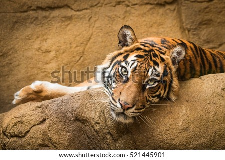 Tiger Royalty-Free Stock Photo #521445901