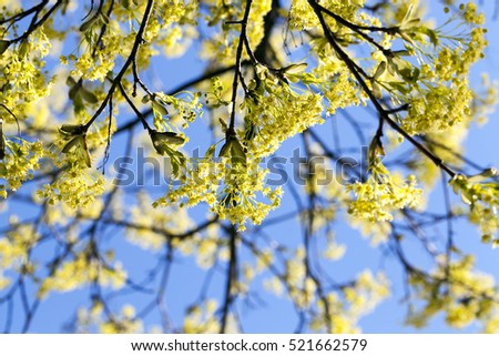 close-up green and yellow flowers of a blossoming tree maple. Spring season #521662579
