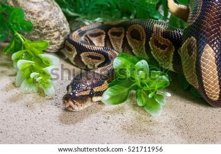 Burmese python #521711956