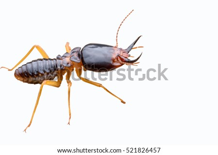 Termite isolated on white background #521826457
