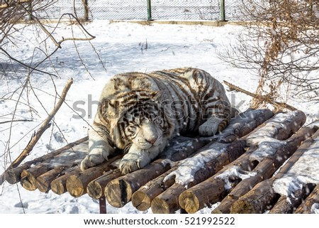 White tigers in the Siberian Tiger Park, Harbin, China Royalty-Free Stock Photo #521992522