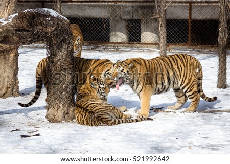 Siberian Tiger Park, Harbin, China #521992642