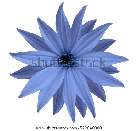 Garden blue flower, white isolated background with clipping path.  Closeup.  no shadows. view of the stars,  for the design.  Nature. #522040000