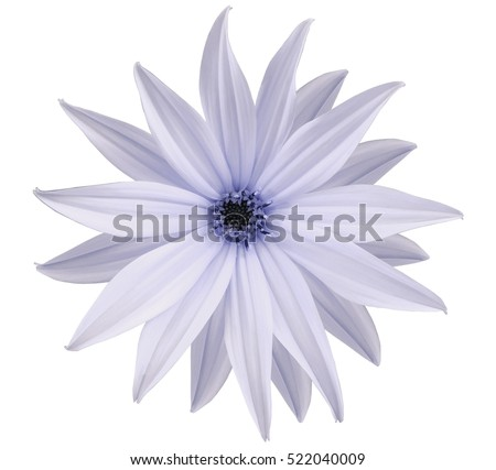 Garden white-blue flower, white isolated background with clipping path.  Closeup.  no shadows. view of the stars,  for the design.  Nature. #522040009