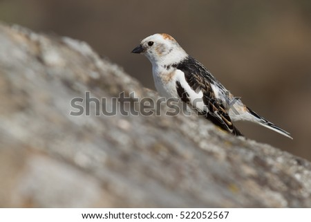 Snow bunting in Iceland #522052567
