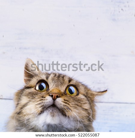 frightened and surprised Gray cat looking up with wide-open eyes on white background #522055087