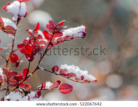 Snow on red leaves of wild rose #522067642