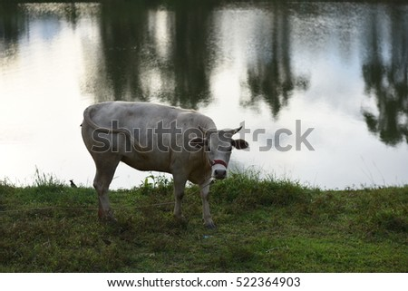 White cow standing near the river #522364903
