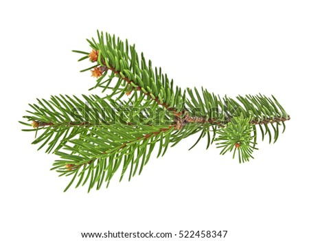 Fir tree branch isolated on a white background #522458347