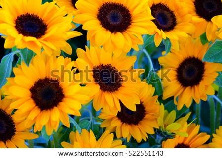 sunflowers  #522551143