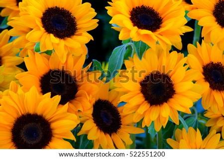 sunflowers  #522551200