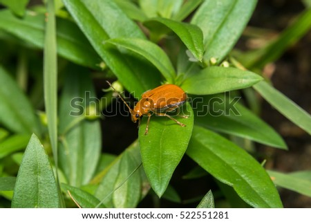 Pumpkin beetle bug  #522551281