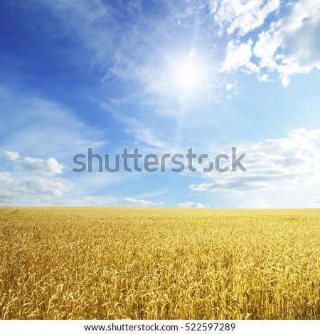 Wheat field and blue sky with sun #522597289