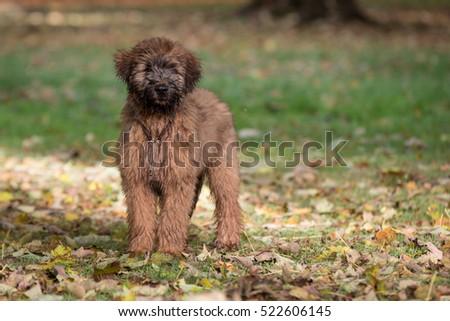 Briard Puppy in the Park #522606145