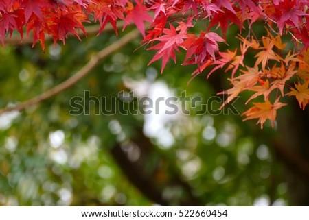 soft focus on redmaple leaves  in autumn season in Kyoto Japan #522660454