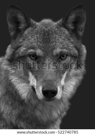 Look straight into your soul of severe wolf female. Menacing expression of the young, two year old, european wolf, very beautiful animal and extremely dangerous beast. Black and white image. #522740785