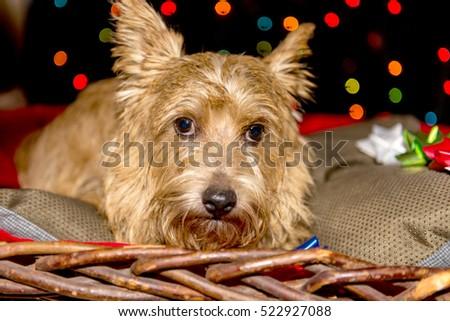 Norwich Terrier in Christmas Scene #522927088