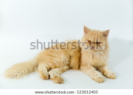 Maine Coon cat lying on white background #523012405