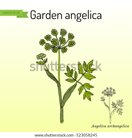 Garden angelica (Angelica archangelica), or wild celery. Hand drawn botanical vector illustration. #523058245