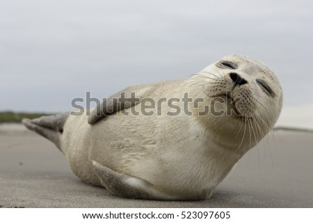 A young grey seal pup that's a total show-off, one with something of an outgoing personality, and who just seems to play to the camera. Iceland Ameland, Dutch.
