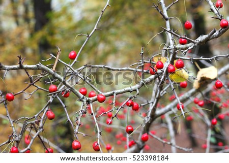 Red wild berries on a tree against deep forest,autumn. #523398184