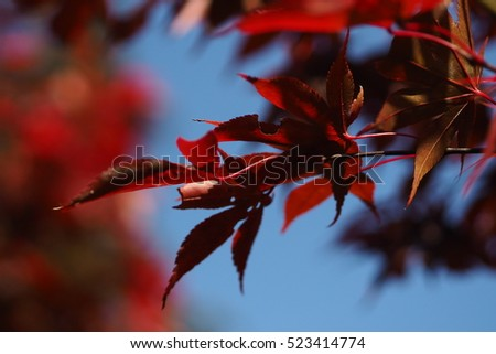 Red leaves of maple. Autumn nature background. #523414774