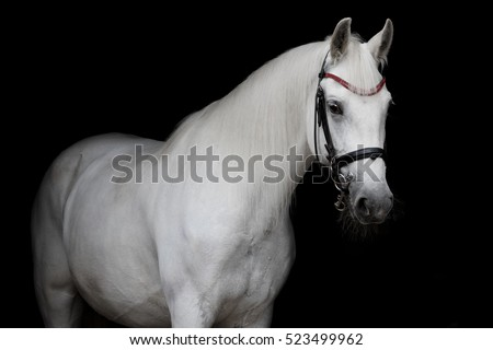 White horse on a black background isolated #523499962