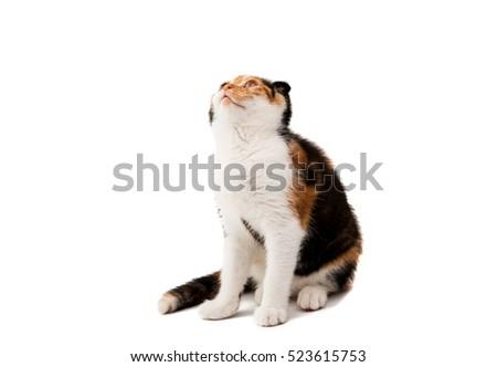 Scottish Fold kitten on white background #523615753
