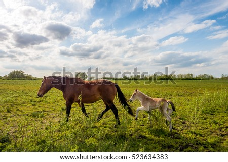 Backlit image of a Dutch landscape in springtime with a mare and her foal. The foal has difficulty keeping track of her mother. #523634383
