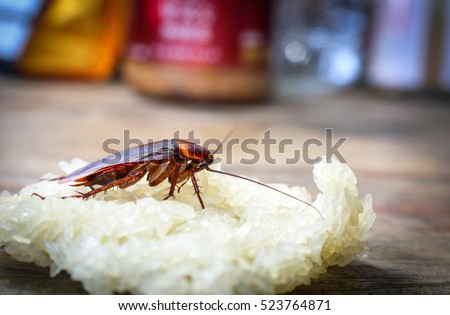 Close up cockroach eating sticky rice on wooden table.
