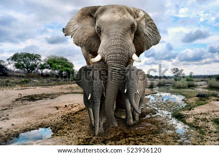 Beautiful Images of of African Elephants in Africa Royalty-Free Stock Photo #523936120