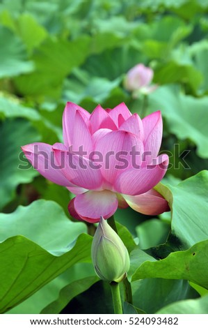 Blossom pink lotus flower in pond #524093482