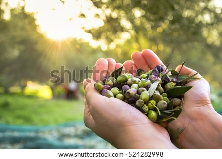 Woman keeps some of the harvested fresh olives in a field in Crete, Greece for olive oil production, using green nets, at sunset. #524282998